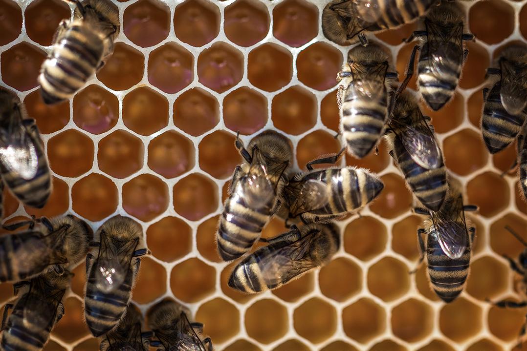 Pszczoły opiekujące się larwami