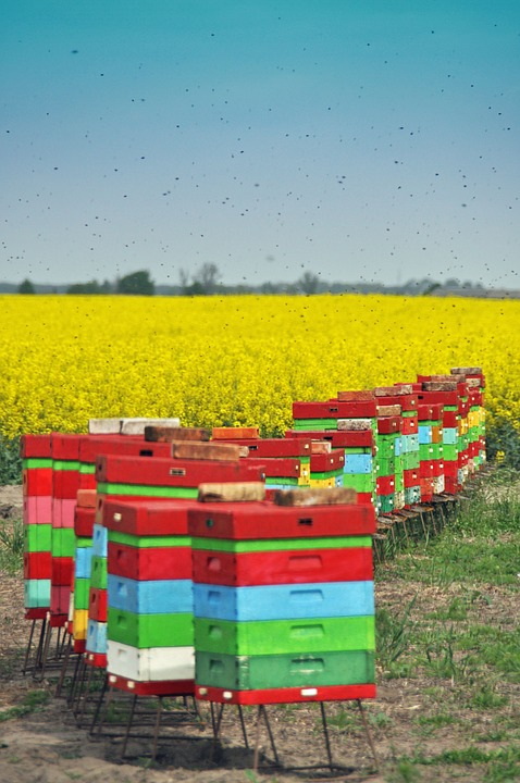 Pszczoły na rzepaku