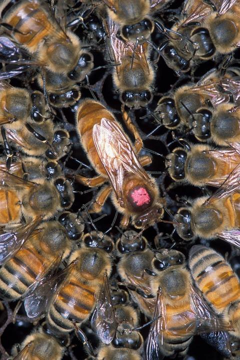 Pszczela królowa
