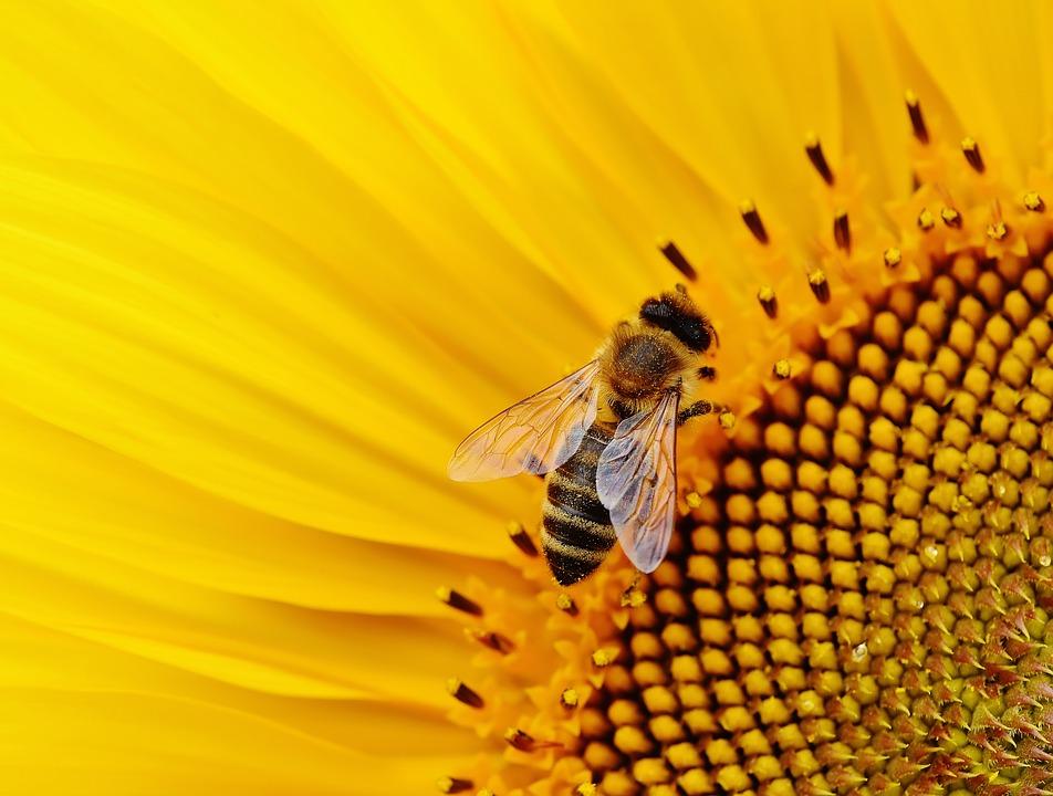 Pszczoła lokalna