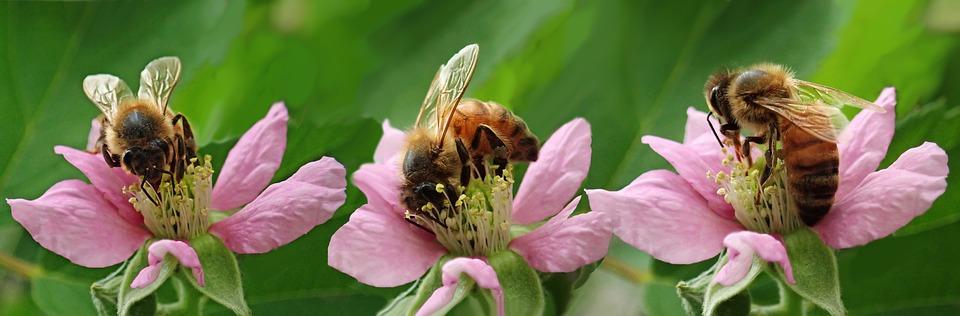 Pszczoły na pożytku