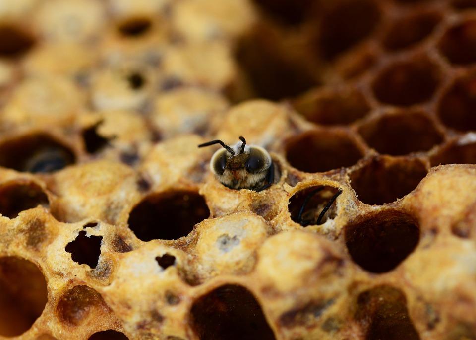 Pszczoły na wygryzieniu do odkładu
