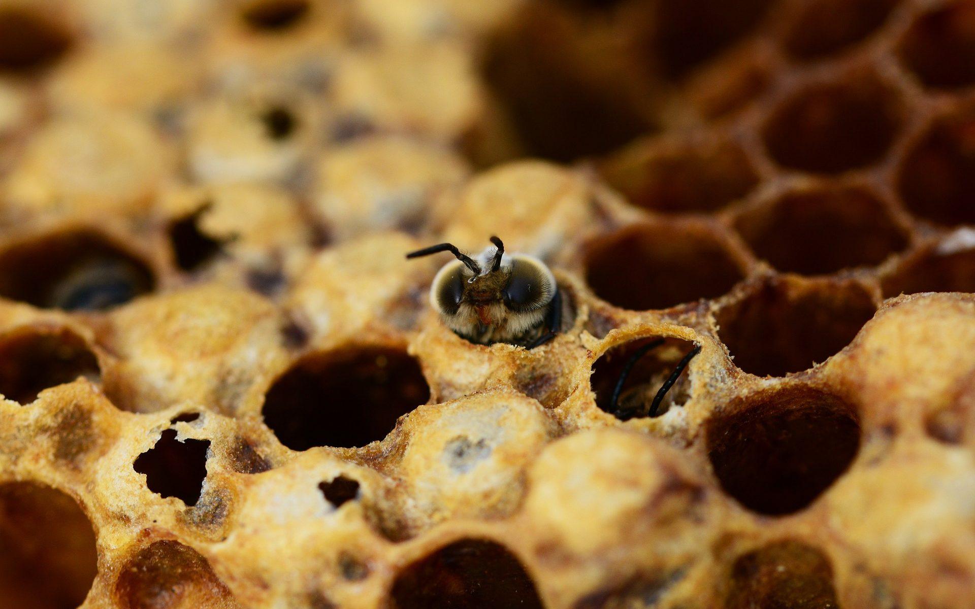 Co to jest warroza i jak uratować pszczoły