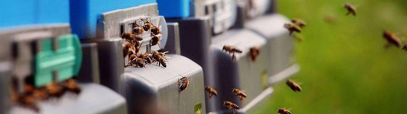 Pszczoły przy wylotkach uli